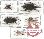 Scientific lot no. 240 Curculionidae (5 pcs - 1 pc A2)