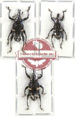 Scientific lot no. 243 Curculionidae (3 pcs)