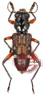 Cleridae sp. 4 (8 pcs A-, A2)