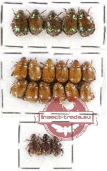 Scientific lot no. 100 Rutelinae (20 pcs)