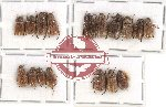 Scientific lot no. 107 Rutelinae (Adoretini) (17 pcs)