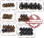 Scientific lot no. 104 Rutelinae (50 pcs - 5 pcs A2)