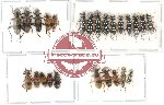 Scientific lot no. 12 Cleridae (25 pcs)