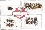 Scientific lot no. 13 Cleridae (22 pcs)