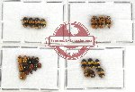Scientific lot no. 177 Chrysomelidae (Cryptocephalini) (28 pcs)