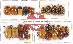 Scientific lot no. 176 Chrysomelidae (24 pcs)