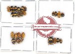Scientific lot no. 183 Chrysomelidae (Cryptocephalini) (25 pcs)