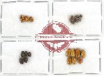Scientific lot no. 182 Chrysomelidae (Cryptocephalini) (20 pcs)