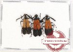 Pyrochroidae sp. 2 (3 pcs)
