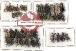 Scientific lot no. 281 Curculionidae (42 pcs - 4 pcs A2)