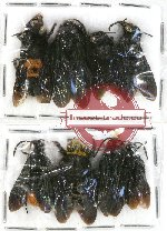 Scientific lot no. 144 Hymenoptera (8 pcs)