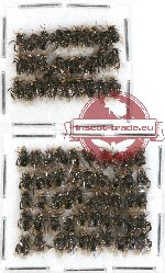 Scientific lot no. 147 Hymenoptera (small spp.) (80 pcs)