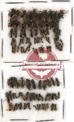 Scientific lot no. 145 Hymenoptera (small spp.) (110 pcs)