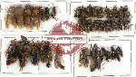 Scientific lot no. 141 Hymenoptera (36 pcs A, A-, A2)