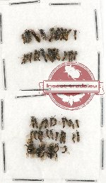 Scientific lot no. 146 Hymenoptera (small spp.) (49 pcs)