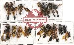 Scientific lot no. 136 Hymenoptera (20 pcs A, A-, A2)