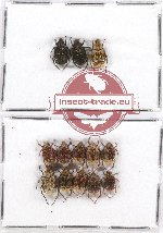 Scientific lot no. 18 Cetoniinae (Valgina) (13 pcs)