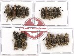 Scientific lot no. 62 Anthribidae (22 pcs - 5 pcs A2)