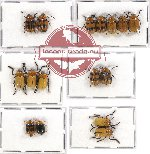 Scientific lot no. 188 Chrysomelidae (Cryptocephalini) (16 pcs)