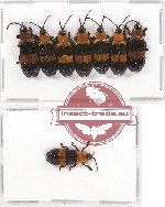 Scientific lot no. 187 Chrysomelidae (Callistola sp.) (8 pcs A-, A2)