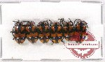 Scientific lot no. 185 Chrysomelidae (6 pcs A-, A2)