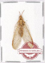 Scientific lot no. 2 Neuroptera (1 pc)