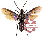 Scoliidae sp. 31 (5 pcs)