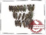Scientific lot no. 58 Buprestidae (Agrilus spp.) (25 pcs A, A-, A2)