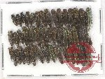 Scientific lot no. 56 Buprestidae (Agrilus spp.) (44 pcs A, A-, A2)