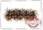 Scientific lot no. 186 Chrysomelidae (5 pcs)