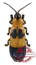 Chrysomelidae sp. 41