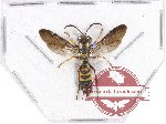 Hymenoptera sp. 105 (5 pcs)