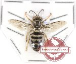 Hymenoptera sp. 107 (10 pcs)