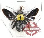 Xylocopa sp. 11 (5 pcs)
