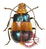 Chrysomelidae sp. 48