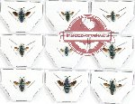 Scientific lot no. 8A Chrysididae (9 pcs - 2 pcs A-)
