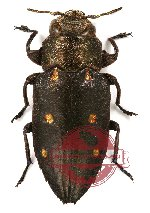 Chrysobothris (s.str.) purpureicollis Kerremans, 1900 (5 pcs)