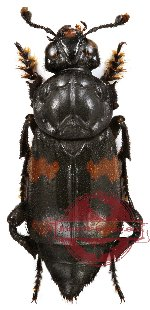 Nicrophorus (s.str.) distinctus Grouvelle, 1885 (10 pcs)