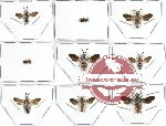 Scientific lot no. 1 Mutilidae (9 pcs)