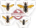 Scientific lot no. 124 Hymenoptera (Eumenidae) (4 pcs)