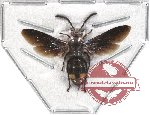 Scoliidae sp. 17 (5 pcs)