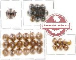 Scientific lot no. 5 Coccinelidae (36 pcs)