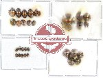 Scientific lot no. 7 Coccinelidae (30 pcs)