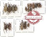 Scientific lot no. 65 Anthribidae (19 pcs)