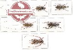 Scientific lot no. 66 Anthribidae (5 pcs - 1 pc A2)