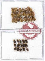 Scientific lot no. 193 Chrysomelidae (40 pcs)