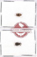 Scientific lot no. 2 Rhipiphoridae (2 pcs - 1 pc A2)