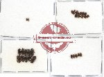 Scientific lot no. 34 Dytiscidae (33 pcs)