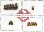Scientific lot no. 268 Carabidae (14 pcs - 2 pca A2)
