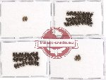Elmidae sc. lot no. 14 (61 pcs)